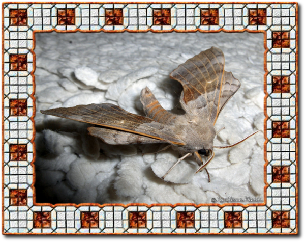 Papillon de nuit le sphinx du peuplier gros papillon gris - Gros papillon de nuit dangereux ...