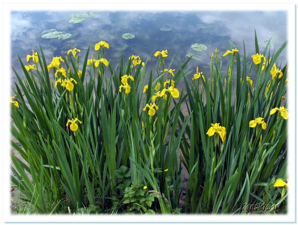 Fleurs D Eau Iris Aquatiques Fleurs D Eau