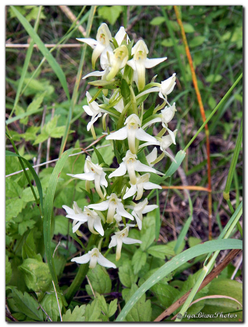 orchidee sauvage 2