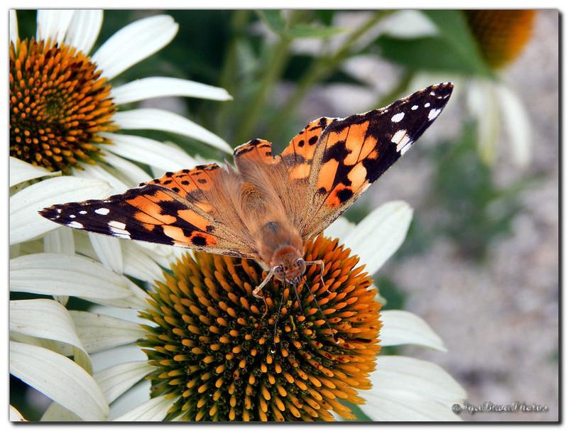 2015 07 29 papillon belle dame 6jpg