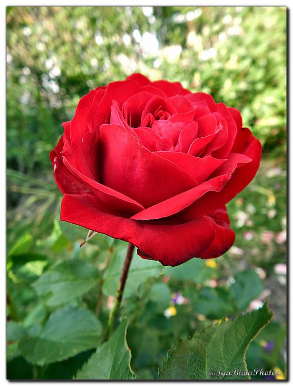 Les roses rouges du jardin jardi roses rouges for Jardin roses