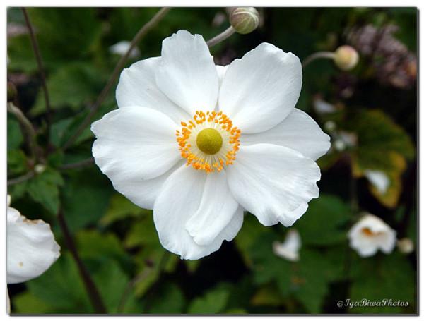 Les immacul es an mones du japon centerblog - Anemone du japon blanche ...